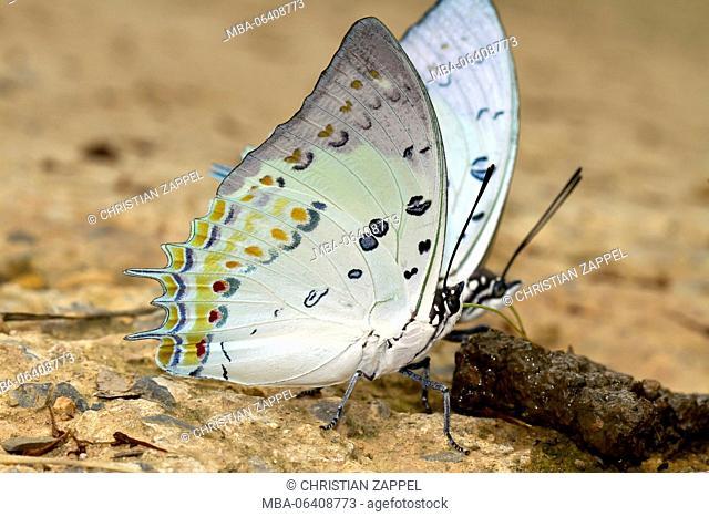 Butterfly, Charaxinae, (Polyura nepenthes), Kaeng Krachan, Phetchaburi, Thailand