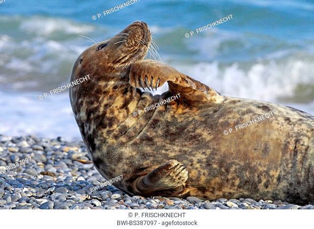 gray seal (Halichoerus grypus), gray seal enjoying a sunbath on the beach, Germany, Schleswig-Holstein, Heligoland