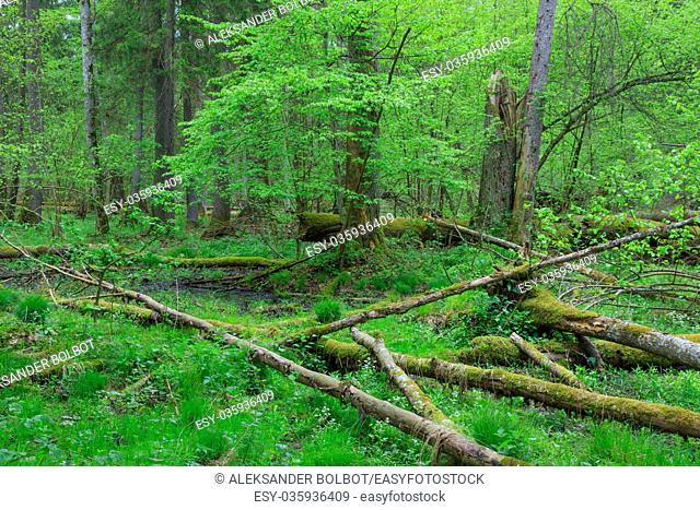 Fresh deciduous stand in summer with dead broken ash in foreground, Bialowieza Forest, Poland, Europe