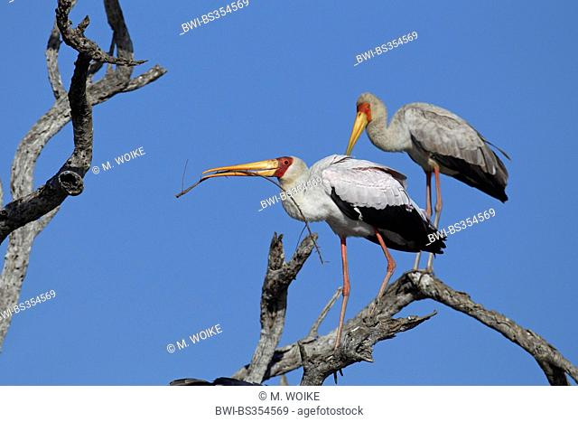 yellow-billed stork (Mycteria ibis), stork with a branch in its bill standing on a dead tree, South Africa, Kruger National Park