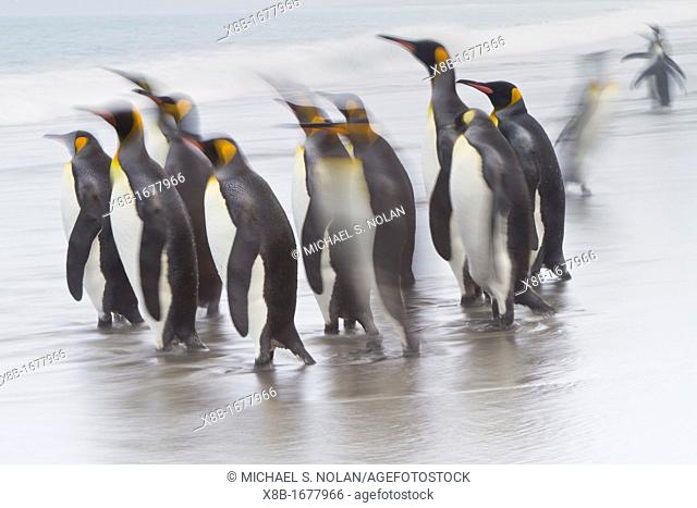 Creative motion blur image of adult king penguins Aptenodytes patagonicus returning to the sea from the nesting and breeding colony at Salisbury Plain on South...