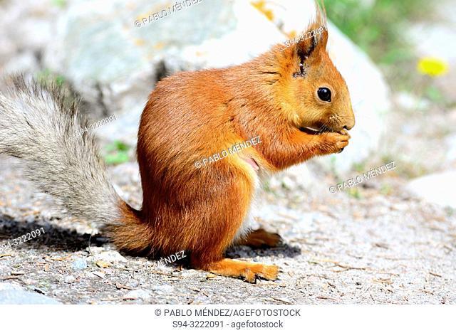 Eurasian red squirrel (Sciurus vulgaris) in Ala Archa national park, Chui province, Kyrgyzstan