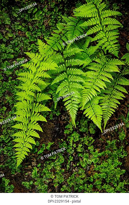 Lush Fern Leaves, Hocking Hills State Park; Ohio, United States Of America