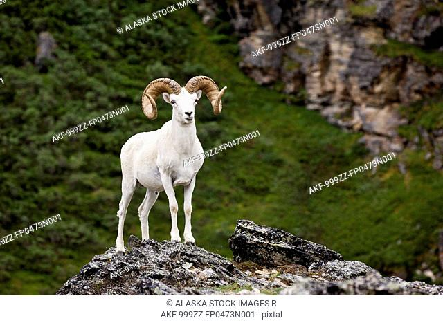 A full-curl Dall ram stands on a rock outcrop facing forward, Denali National Park and Preserve, Interior Alaska, Summer