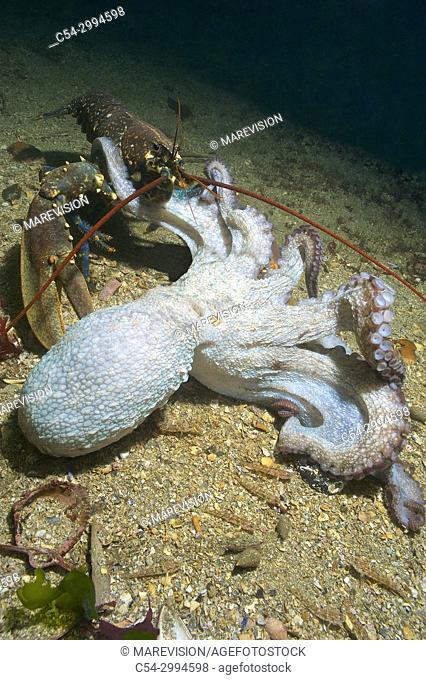Common lobster (Homarus gammarus) devouring dying octopus (Octopus vulgaris). Eastern Atlantic. Galicia. Spain. Europe
