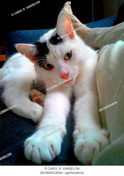 White and black kitten sitting on couch next to owners lap