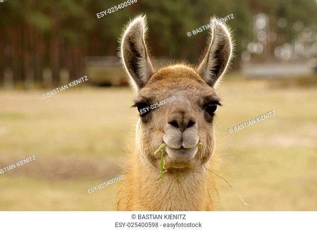 a funny looking lama with a blade of grass in his mouth