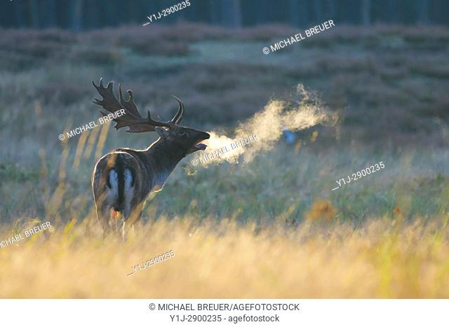 Fallow Deer (Cervus dama) on misty morning at sunrise, Rutting season, Hesse, Germany, Europe