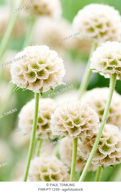 Grass Leaved Scabious, Scabiosa graminifolia, Several papery globe shaped seedheads