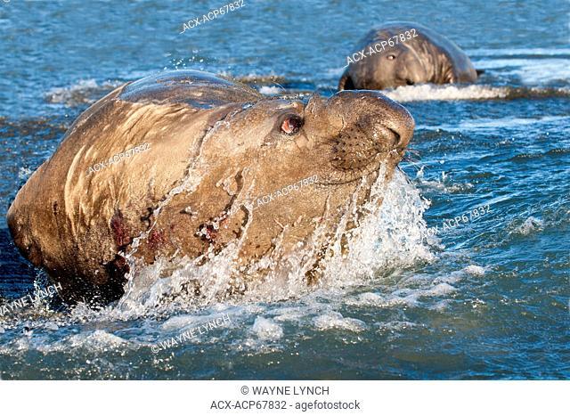 Southern elephant seal (Mirounga leonina) bulls coming ashore, St. Andrews Bay, Island of South Georgia, Antarctica