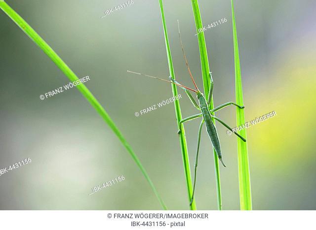 Saga pedo bush cricket (Sago pedo), juvenile on grass blade, Pleven Province, Bulgaria