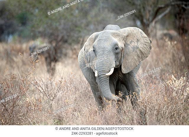 Elephant ( Loxodonta africana) eating from dry shrubs, Serengeti national park, Tanzania