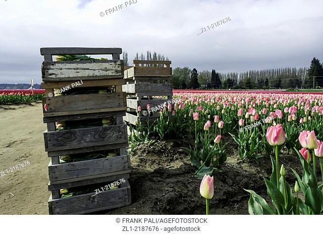 Crates of colorful tulips ready for market from Skagit Valley.LA Conner Washington USA