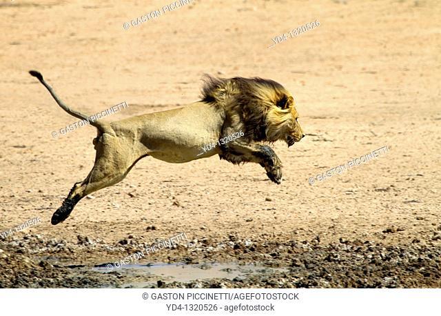 African Lion Panthera leo - Male, junping the waterhole, Kgalagadi Transfrontier Park, Kalahari desert, South Africa