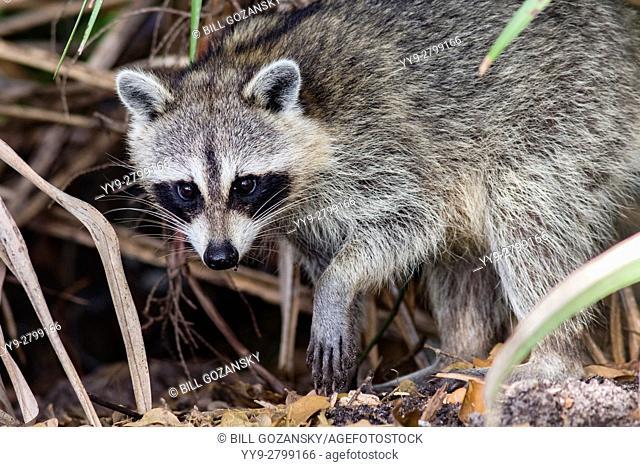 Raccoon - Green Cay Wetlands, Boynton Beach, Florida USA