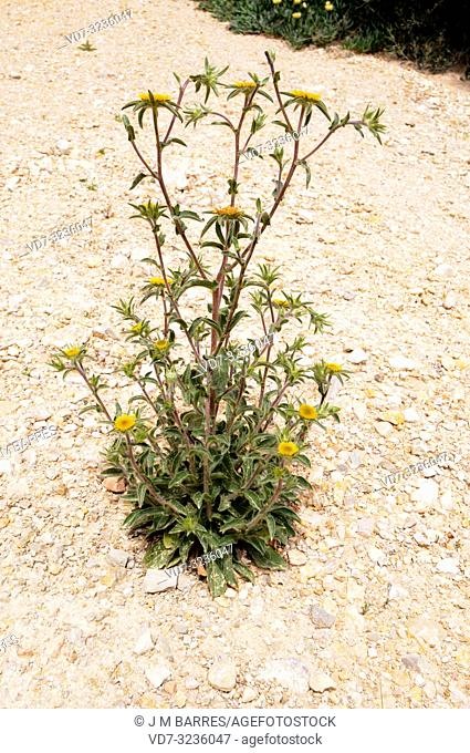 Spiny starwort (Pallenis spinosa) is an annual herb native to Mediterranean Basin and Canary Islands