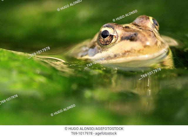 Perez's Frog (Pelophylax perezi)