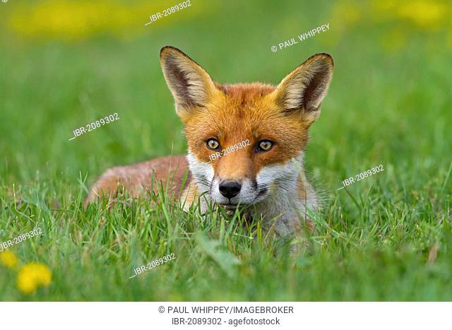 Red fox (Vulpes vulpes), in meadow, south east England, United Kingdom, Europe