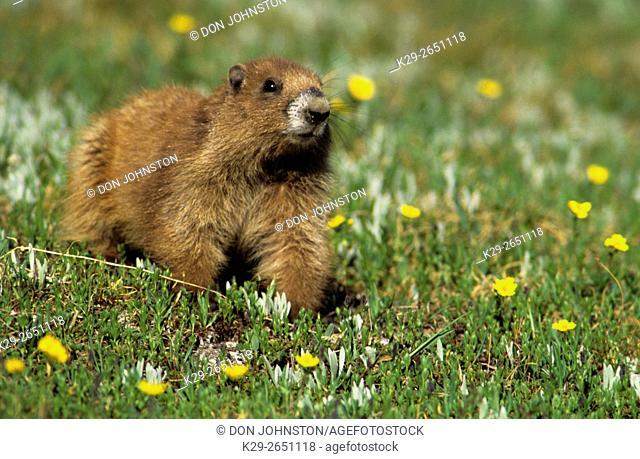 Olympic marmot (Marmota olympus), Olympic NP, WA, USA