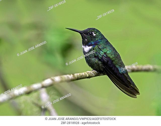 Wedge-billed Hummingbird (Schistes geoffroyi), Reserva Rio Blanco, Manizales, Caldas