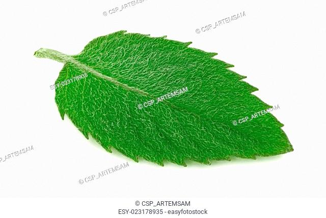 Close-up view of one green mint leaf (isolated)
