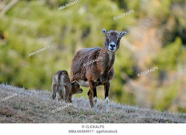 Europe, Italy, Trentino, Dolomites, Fassa Valley, Muflone Ovis orientalis