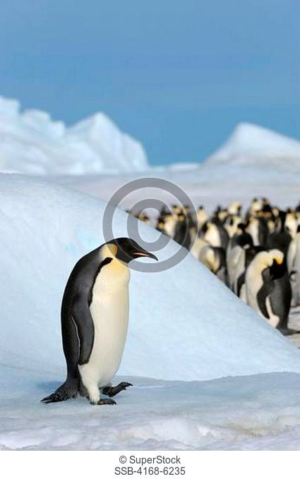 ANTARCTICA, WEDDELL SEA, SNOW HILL ISLAND, EMPEROR PENGUINS Aptenodytes forsteri, ADULT PENGUIN WALKING ON ICE