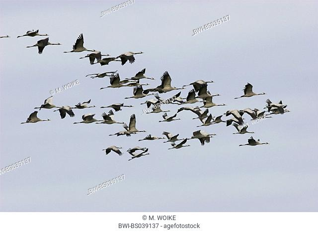 common crane (Grus grus), flying flock, Spain, Extremadura