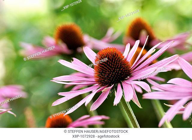 Purple cone flower Echinacea purpurea 'Rubinstern'