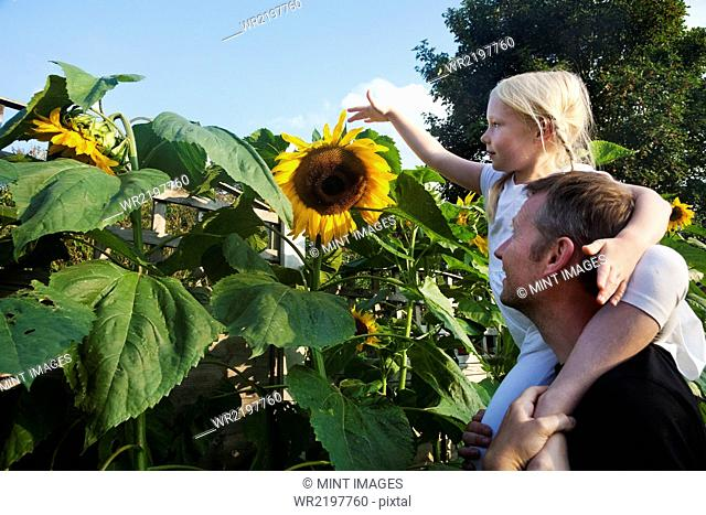 A girl seated on her father's shoulders, reaching to touch a sunflower in full bloom