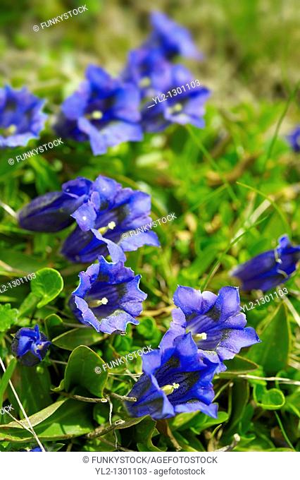 Trumpet Gentian  Gentiana Acaulis   Faulhorn Mountain , Bernese Alps  Switzerland Europe