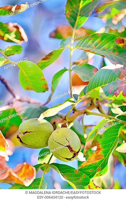 ripe walnut on tree in autumn time