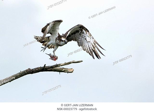 Osprey (Pandion haliaetus) take off with a fish, The Netherlands, Overijssel, Kampen, IJsseldelta