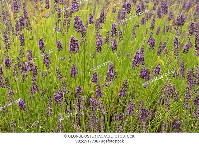 Lavender, Mountainside Lavender, Washington County, Oregon