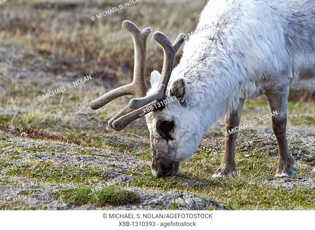 Adult Svalbard reindeer Rangifer tarandus platyrhynchus grazing within the town limits of Longyearbyen on Spitsbergen in the Svalbard Archipelago
