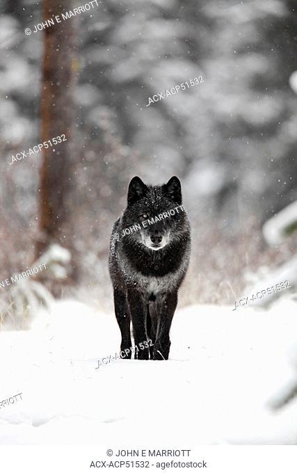 Wild black timber wolf Canis lupus, Banff National Park, Alberta, Canada