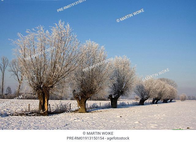 Landscape with pollard willow trees in winter, Natura, Hetter, Lower Rhine area, Northrhine-Westfalia, Germany, Europe