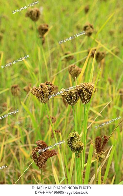 Millet crop, bastar, chhattisgarh, india, asia