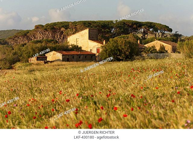 Country house surrounded by pine trees and poppies, Golfo di Baratti, near Populonia, province of Livorno, Tuscany, Italy, Europe