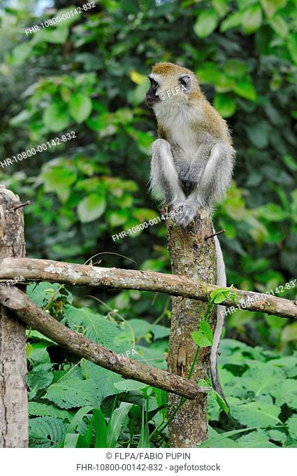 Vervet Monkey Chlorocebus pygerythrus adult, sitting on fencepost, in farmland at edge of Nyungwe Forest N P , Rwanda, december