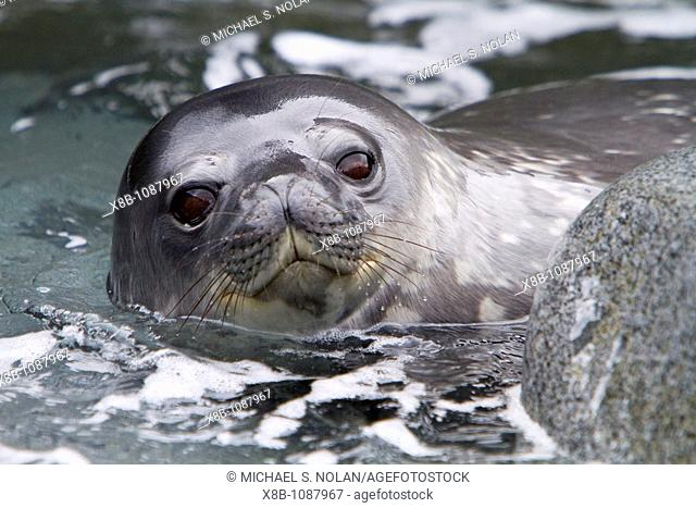 Weddell seal Leptonychotes weddellii pup on Weinke Island near the Antarctic Peninsula, Southern Ocean  MORE INFO This is the most southerly breeding seal in...