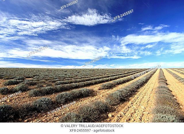 Winter lavender field, Alpes de Haute Provence, Provence-Alpes-Côte d'Azur, France
