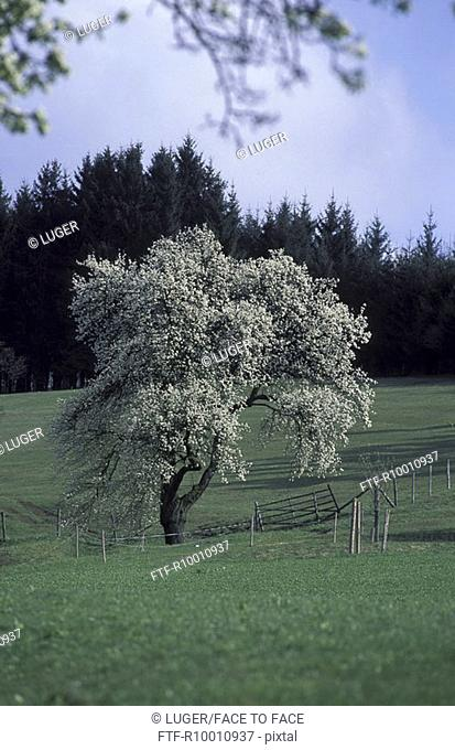 Blooming tree on a grassland