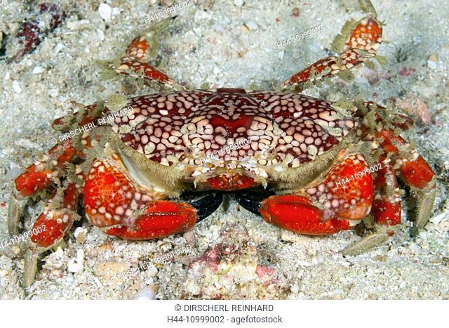 Splendid Round Crab, Etisus sp., Raja Ampat, West Papua, Indonesia