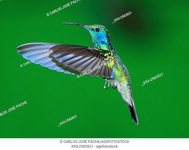 Costa Rica, Monteverde Biological Rerserve, Green violet-ear (Colibri thalassinus) in flight