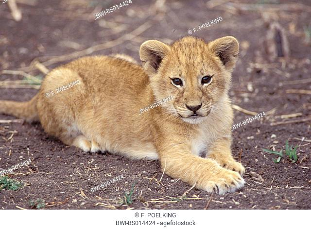lion (Panthera leo), cub, lying, Kenya, Masai Mara National Park