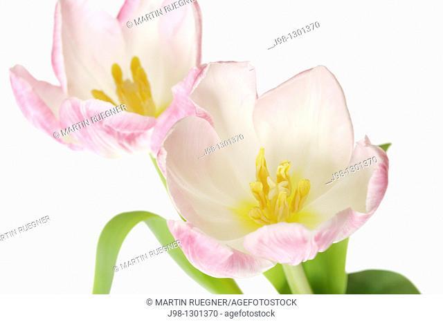 Tulip Tulipa sp  against white background, close up  Studio shot