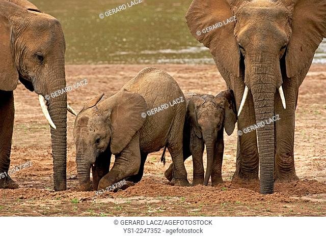 African Elephant, loxodonta africana, Group near River, Samburu Park in Kenya