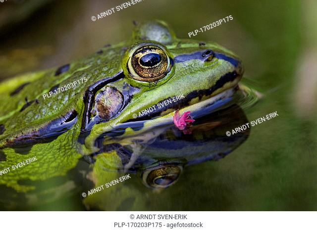 Edible frog / common water frog / green frog (Pelophylax kl. esculentus / Rana kl. esculenta) in pond