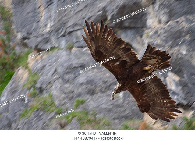 Switzerland, canton Graubünden, Grisons, animal, beast, wild game, stone eagle, eagle, cliff formation, rock, cliff, Swiss Alps, mountains